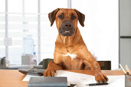 Rhodesian Ridgeback dog sits at a desk as Big Boss