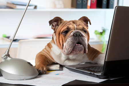 Foto de English Bulldog sitting at a desk in front of a computer as an office manager - Imagen libre de derechos
