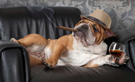Foto de Humorous photograph of English Bulldog resting in a black leather chair with a cigar and glass of cognac - Imagen libre de derechos