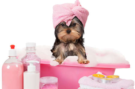 Photo pour Funny Yorkshire terrier dog taking a bath isolated on white background - image libre de droit