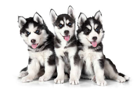Two months old Siberian Husky puppies isolated on white background