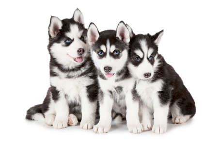 Adorable Siberian Husky puppies (two months old) isolated on white background