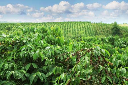 Foto de Coffee plantations in the highlands of Eastern Vietnam  - Imagen libre de derechos