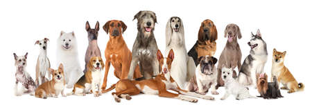 Photo pour Group of various kind of purebred dogs sitting and lying next to each other looking up isolated on a white background  - image libre de droit