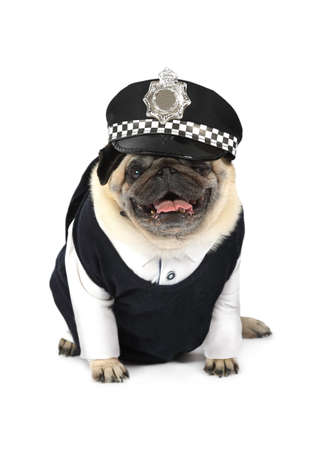 Pug dog dressed as a taxi driver isolated on white background