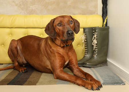 Photo for Nice Rhodesian Ridgeback dog lying on the rug in the hallway with his head on his paws - Royalty Free Image