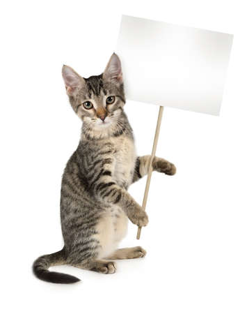 Photo pour Grey striped kitten with poster in hands isolated on white background. Your text on the poster - image libre de droit