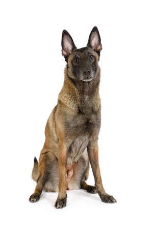 Photo pour Thoroughbred Belgian shepherd dog Malinois sitting on a white background - image libre de droit