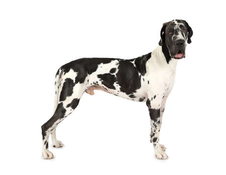 Photo pour Thoroughbred Great Dane dog standing on a white background - image libre de droit