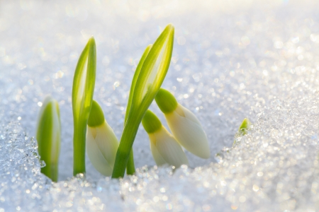 The first snowdrops ascended from under the snow