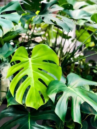 Foto per Natural green monstera leafs or swiss cheese plant background. Tropical pattern. - Immagine Royalty Free