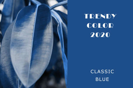 The color of the plant is classically blue. Juicy tones in trendy color. Copy space layout for design.The leaves of the host are tinted in a trendy classic blue. Top view, foliage card.
