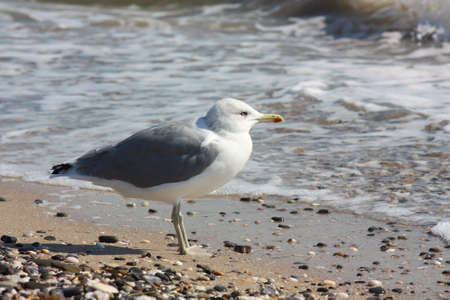 Seagull standing on the beach, close-up