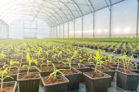 Photo pour Young plants growing in a greenhouse - image libre de droit