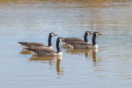 Foto de Canadian geese in the lake autumn (Branta canadensis) - Imagen libre de derechos