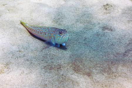 Foto de Greater weever on sandy sea floor (Trachinus draco) - Imagen libre de derechos