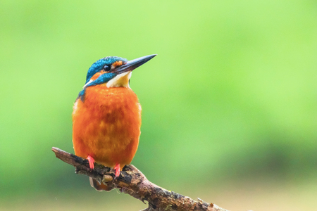 Photo for Common Kingfisher (Alcedo atthis) Eurasian Kingfisher Bird sitting on a Branch - Royalty Free Image