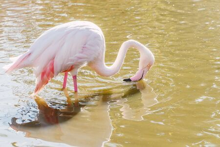 Foto de Flamingo eating in the water, Pink Flamingo, Greater flamingo in their natural environment - Imagen libre de derechos
