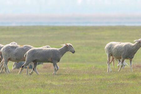 Foto de Flock of sheep, sheep on field - Imagen libre de derechos