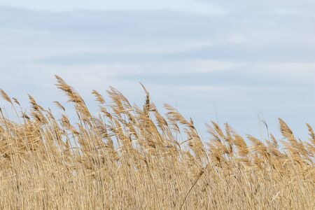 Photo for Common reed, Dry reeds, blue sky, (Phragmites australis) - Royalty Free Image