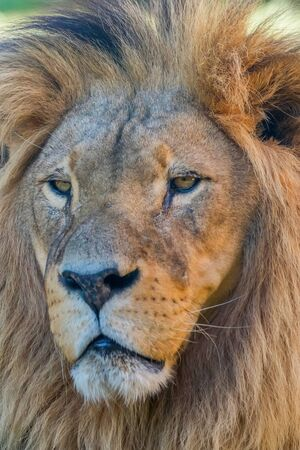 Photo for Close-up of Lion Head, Portrait of an Adult Lion - Royalty Free Image