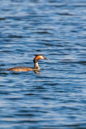 Photo pour Great crested grebe on water (Podiceps cristatus) - image libre de droit