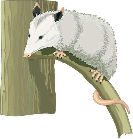 Illustration pour Opossum Illustration - image libre de droit