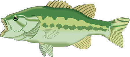 Large mouth bass illustration.