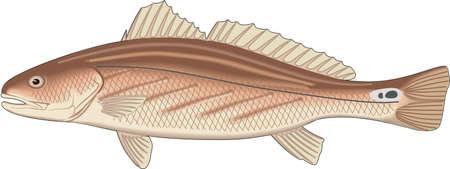 Illustration for Channel bass illustration. - Royalty Free Image