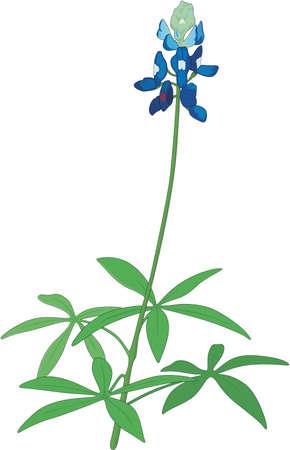 Illustration for Blue Bonnet Lupine Illustration - Royalty Free Image