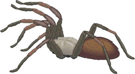 Tarantula illustration.