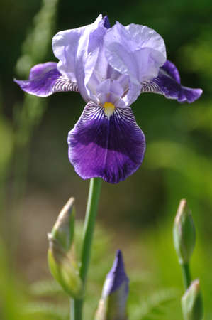 Close up of Purple Bearded Iris Flower in Garden