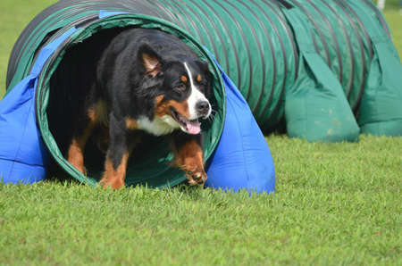 Bernese Mountain Dog Leaving Tunnel at a Dog Agility Trial
