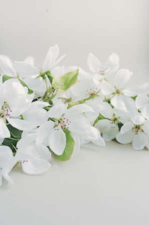 Foto für blooming fresh twig of white large flowers of pear with green leaves on a twig on a light background. vertical image - Lizenzfreies Bild