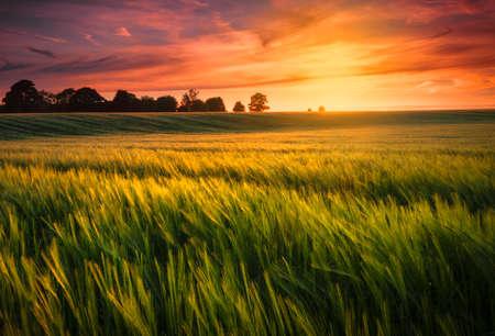 Photo pour Sunset over a wheat field - image libre de droit