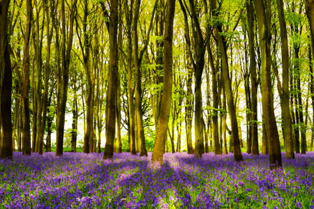 The late evening sun beams through a clump of beech trees in Oxforshire illuminating a carpet of bluebells