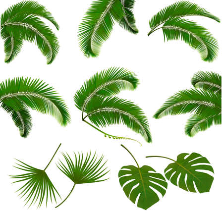 Illustration for Set of palm leaves isolated on white background. Vector illustration. - Royalty Free Image