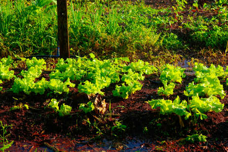 Photo for Vegetable garden irrigation - Farm of lettuce and beetroot in brazil - Royalty Free Image
