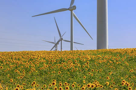 Crop field of sunflowers with row of windmills at background