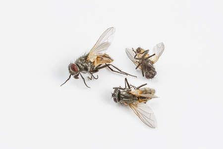 Foto de Dead flies on white - Imagen libre de derechos