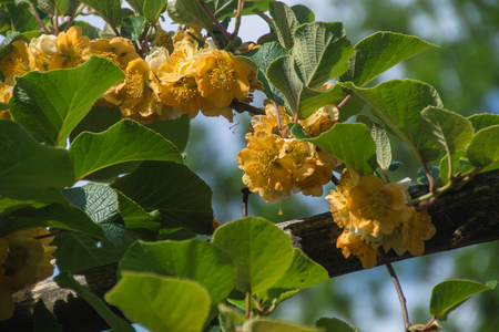 flowers of kiwi,ardeche,france