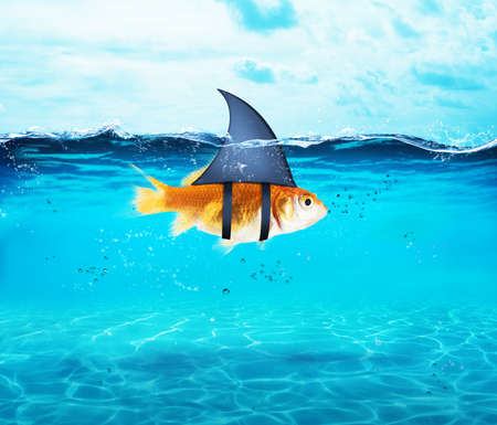Photo for Goldfish acting as shark to terrorize the enemies. Concept of competition and bravery - Royalty Free Image