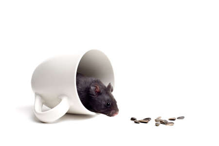 temptation - black bear hamster in a coffee cup, lured and tempted by the sunflower seeds. Closeup isolated on white