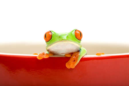 frog in a cooking pot - poor red-eyed tree frog (Agalychnis callidryas) looking out of a red cooking pot, isolated on white