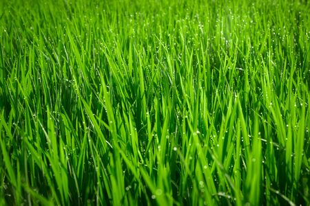 Photo for Green juicy grass close-up. Background of green young grass. Green grass background. Young growing rice - Royalty Free Image