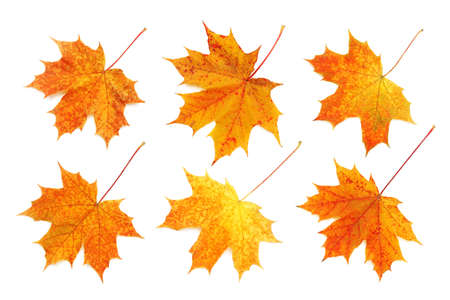 Photo pour Pattern of six bright, autumn maple leaves isolated on white background. - image libre de droit