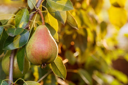 Foto für Pears on a tree branch closeup in orchard. Pear fruit on the tree in the fruit garden. Pear hanging on tree. Fruit background - Lizenzfreies Bild