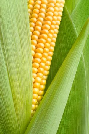 Foto für maize cob detail between green leaves - Lizenzfreies Bild