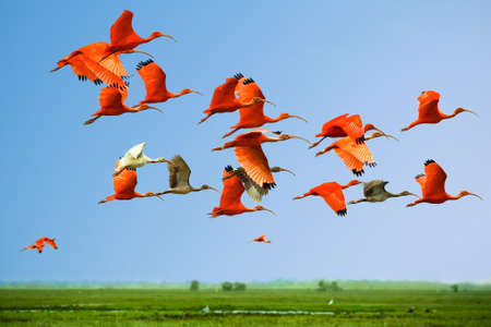 Flock of scarlet and white ibises in flight above green meadow with blue sky background (flying birds)