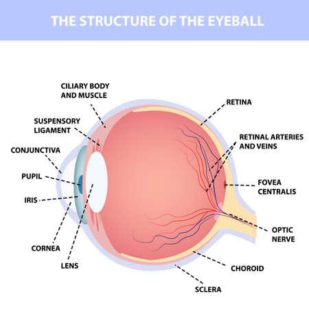 Illustration pour Human eye anatomy, designation, for poster or teaching material medical illustration - image libre de droit
